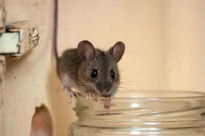 Chuột cống xâm nhập vào nhà