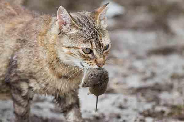 Tiêu diệt chuột bằng cách nuôi mèo